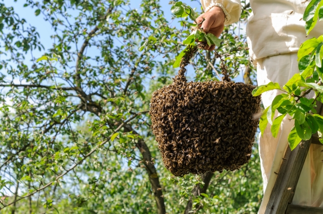 beekeeper and bee swarm